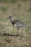 Southern lapwing,  Vanellus chilensis Royalty Free Stock Photography