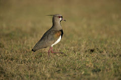 Southern lapwing,  Vanellus chilensis Stock Photos