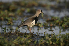 Southern lapwing,  Vanellus chilensis Stock Photo