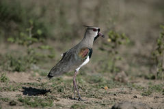 Southern lapwing, Vanellus chilensis Stock Photography