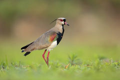 Southern Lapwing, Vanellus chilensis, water exotic bird during sunrise, Pantanal, Brazil Stock Photography