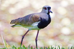 Southern Lapwing very common South American bird in urban areas. Southern lapwing or chilean lapwing Vanellus chilensis South American Charadriidae which nests royalty free stock images