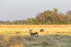 Southern lechwe Africa safari wildlife. Antelope lechwe Kobus leche, or southern lechwe, Caprivi strip game park, Nambwa Namibia, Africa safari wildlife Royalty Free Stock Images