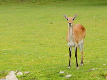 Southern lechwe front view Royalty Free Stock Image