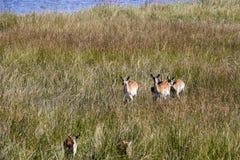 Southern lechwe, Kobus leche, Moremi National Park, Botswana. The Southern lechwe, Kobus leche, Moremi National Park, wana stock photos