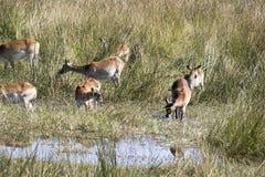 Southern lechwe, Kobus leche, Moremi National Park, Botswana. The Southern lechwe, Kobus leche, Moremi National Park, wana royalty free stock photography