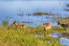 Southern lechwe, Kobus leche, Moremi National Park, Botswana. The Southern lechwe, Kobus leche, Moremi National Park, wana stock photography