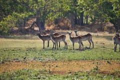 Southern lechwe,Kobus leche,Okavango, Botswana. One Southern lechwe,Kobus leche, delta Okavango, Botswana stock image