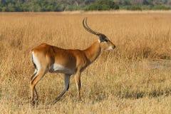 Southern lechwe in Okavango, Botswana, Africa. Antelope lechwe Kobus leche, or southern lechwe, Moremi game reserve, Okavango delta, Botswana, Africa safari royalty free stock image