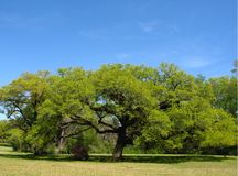 Southern Live Oak. Growing on the edge of a field Stock Photo