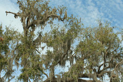 Southern live oak stock photography