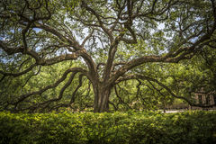 Southern Live Oak. In the LSU quadrangle royalty free stock photo