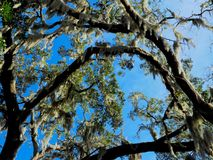 Southern Live Oak Trees with Spanish Moss. Blue skies surrounding Southern Live Oak trees with hanging Spanish Moss taken in Orlando, Florida stock photo
