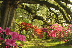 Southern Live Oak Trees in spring give shade to colorful azalea plants. Stock Image