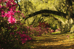 Southern Live Oak Trees in spring give shade to colorful azalea plants. Royalty Free Stock Photography