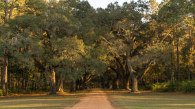 Southern Live Oaks Royalty Free Stock Photography