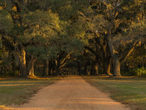 Southern Live Oaks Stock Images