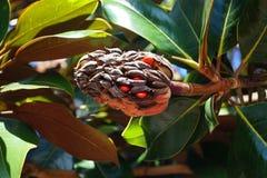Southern Magnolia - Magnolia grandiflora stock photography