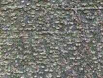 Southern Magnolia (Magnolia grandiflora) Bark Stock Photography