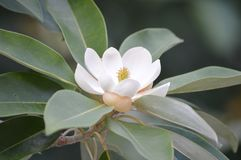 The Southern Magnolia Tree in bloom during August Stock Image