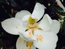 Southern Magnolia Tree Bloom Stock Photography