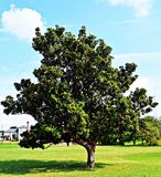 Southern Magnolia tree in Tennessee. Southern Magnolia tree in Martyr`s Park, Memphis Tennessee Royalty Free Stock Photo