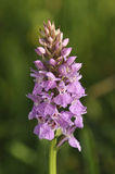 Southern Marsh Orchid Royalty Free Stock Images