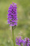 Southern Marsh Orchid Stock Photo