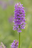 Southern Marsh Orchid Royalty Free Stock Photo