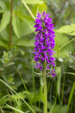 Southern Marsh Orchid Stock Images