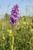 Southern Marsh Orchid Royalty Free Stock Photography