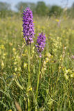 Southern Marsh Orchid Royalty Free Stock Image