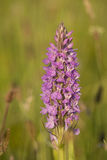 Southern Marsh Orchid Royalty Free Stock Photos