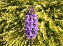 Southern Marsh Orchid Stock Photography