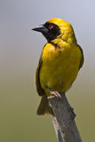 Southern Masked Weaver. Male on pertch over green background Royalty Free Stock Image