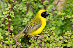 Southern Masked Weaver. A male Southern Masked Weaver (Ploceus velatus) perching on a spekboom tree (Portulacaria afra) in Addo Elephant National Park, South Royalty Free Stock Photography