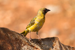 Southern Masked Weaver Stock Photography