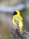 Southern Masked Weaver. A Southern masked Weaver perching on a branch Royalty Free Stock Photography