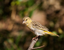 Southern masked weaver Royalty Free Stock Photo