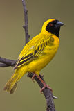 Southern Masked Weaver. Male on pertch over green background Stock Photos