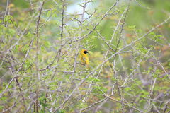 Southern masked weaver Stock Images