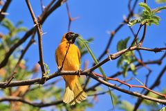 Southern Masked Weaver - African Wild Bird Background - Building Home Royalty Free Stock Photo
