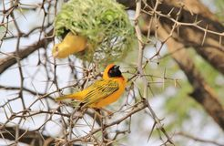 Southern Masked Weaver - African Wild Bird Background - Building a Home. A Southern Masked Weaver male in the process of building his nest, with female Stock Image