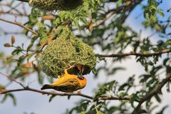 Southern Masked Weaver - African Wild Bird Background - Home Sweet Home. A Southern Masked Weaver male in the process of building his nest, with a female Royalty Free Stock Photography