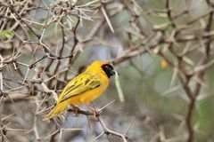 Southern Masked Weaver - African Wild Bird Background - Sharp Colors. A Southern Masked Weaver male poses in a thorn tree, as seen in the wilds and wilderness of Stock Images