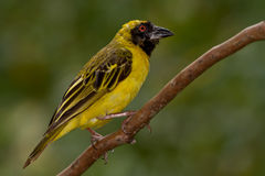 Southern Masked Weaver (Ploceus velatus). Southern Masked Weaver, also known as African Masked Weaver, perched on a small branch against a green background Stock Photography