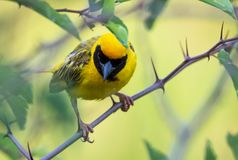 Southern Masked Weaver bird on a branch stock photos