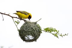 Free Southern Masked Weaver Bird Building Nest Stock Images - 138375694