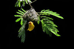 Southern masked weaver building nest. National park of Kenya, Africa Stock Photography