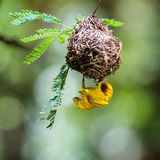 Southern masked weaver building nest. National park of Kenya, Africa Stock Photo
